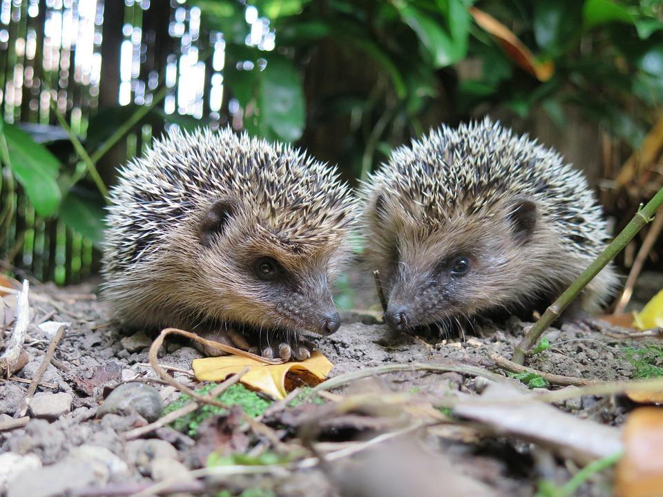 Hedgehog, Animal, Nature, Spur, Prickly, Hannah, Cute