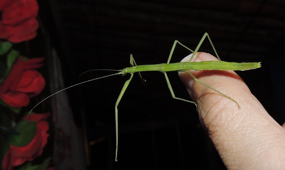Nature, Stick Insect, Weirdo