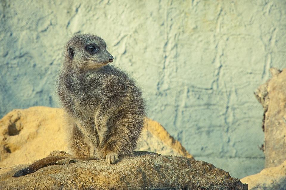 Meerkat, Stone, Wild Animal, Animal World, Nature