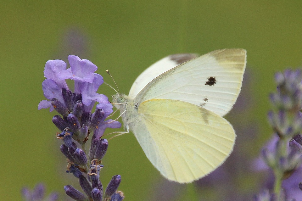 Small Cabbage White Ling, Butterfly, Nature, Summer