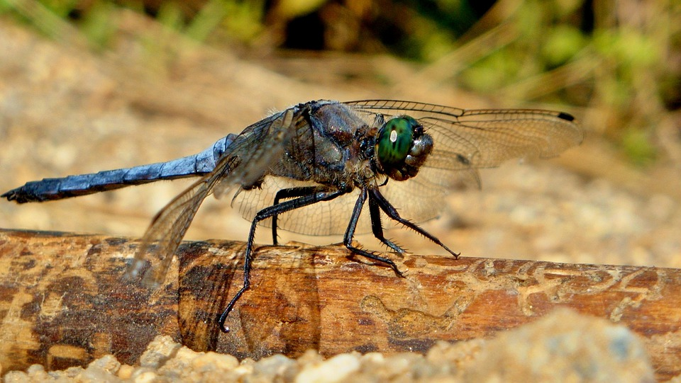 Macro, Dragonfly, Summer, Nature, Insect