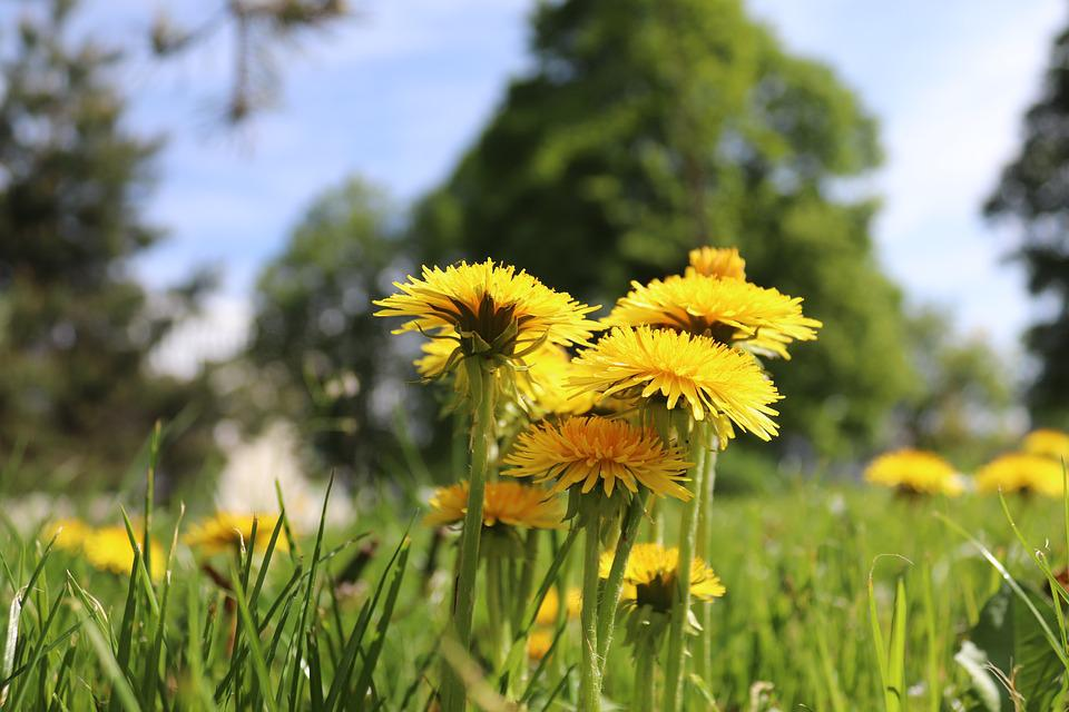 Flower, Dandelion, Nature, Plant, Field, Summer