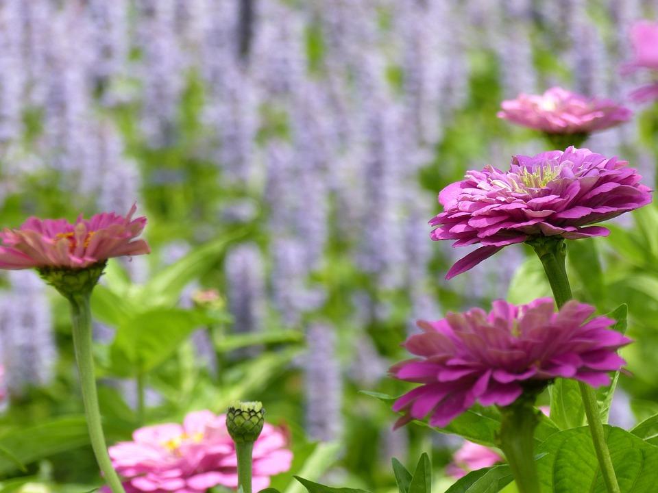 Free photo Nature Summer Flower Flowers Zinnia Flower Garden - Max Pixel