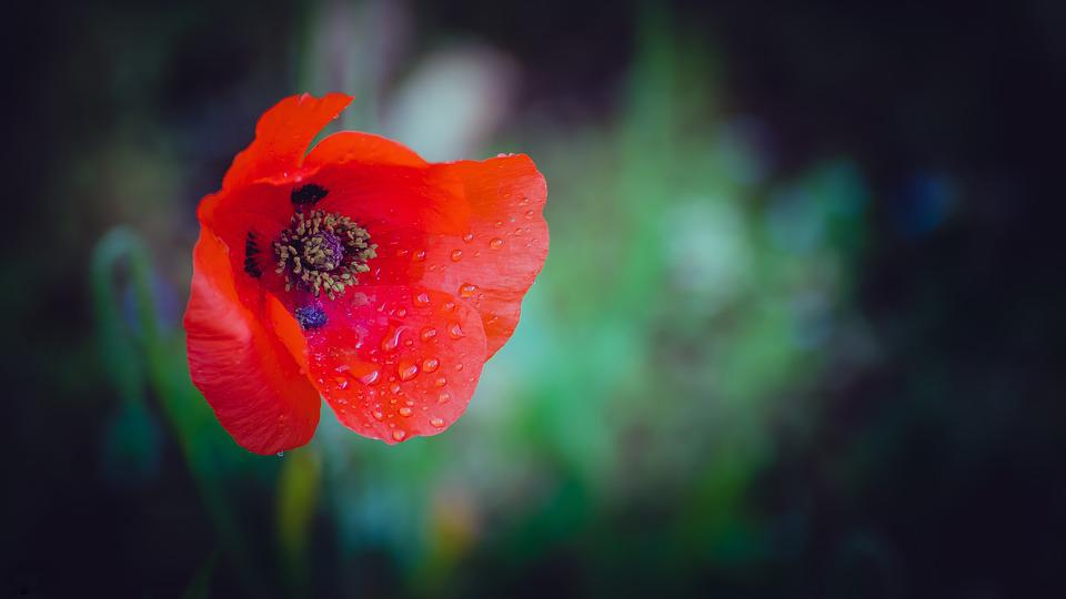 Flower, Poppy, Red, Nature, Summer, Green, Garden
