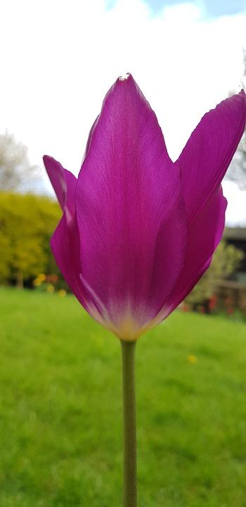 Nature, Flower, Summer, Flora, Tulip, Purple Tulip