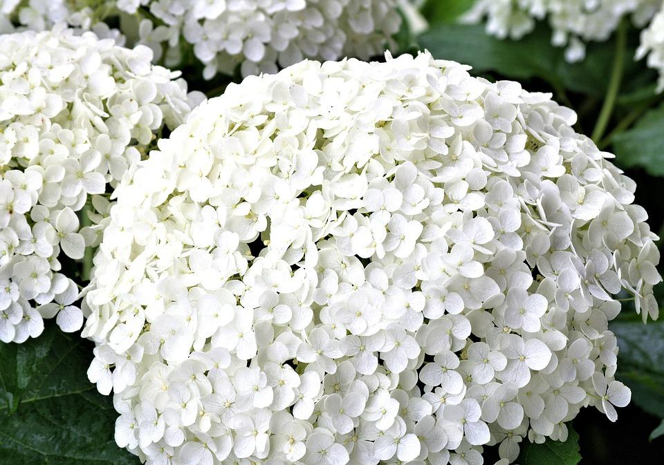 Hydrangea, White Flower, Summer Garden, Plants, Nature