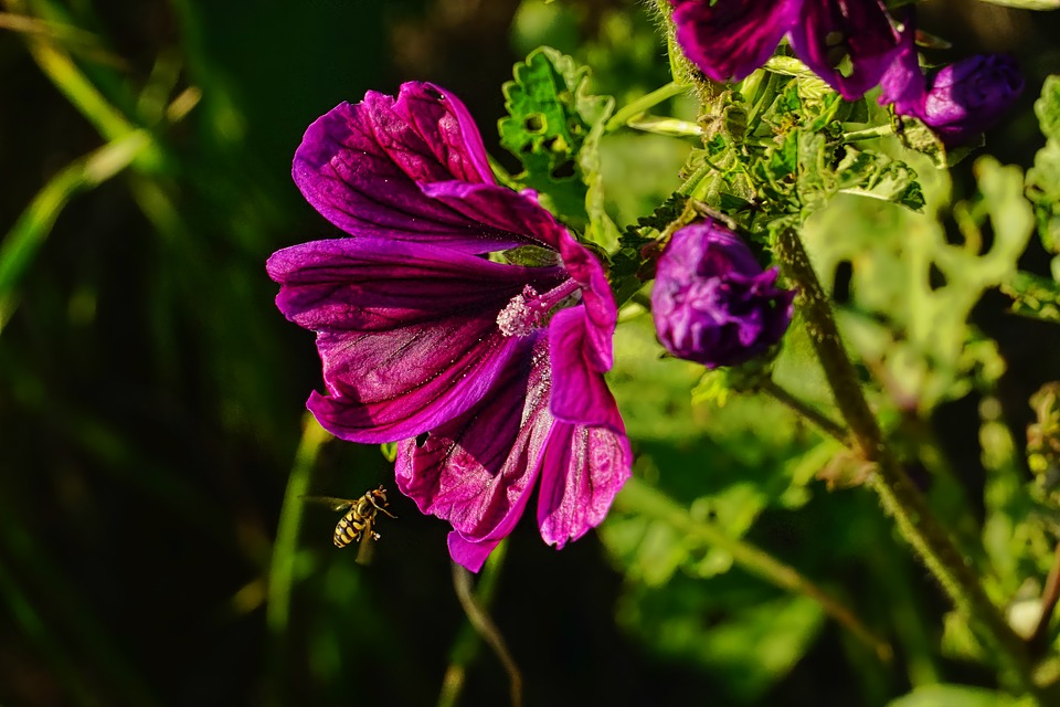 Nature, Mallow, Hollyhock Flower, Flower, Plant, Summer