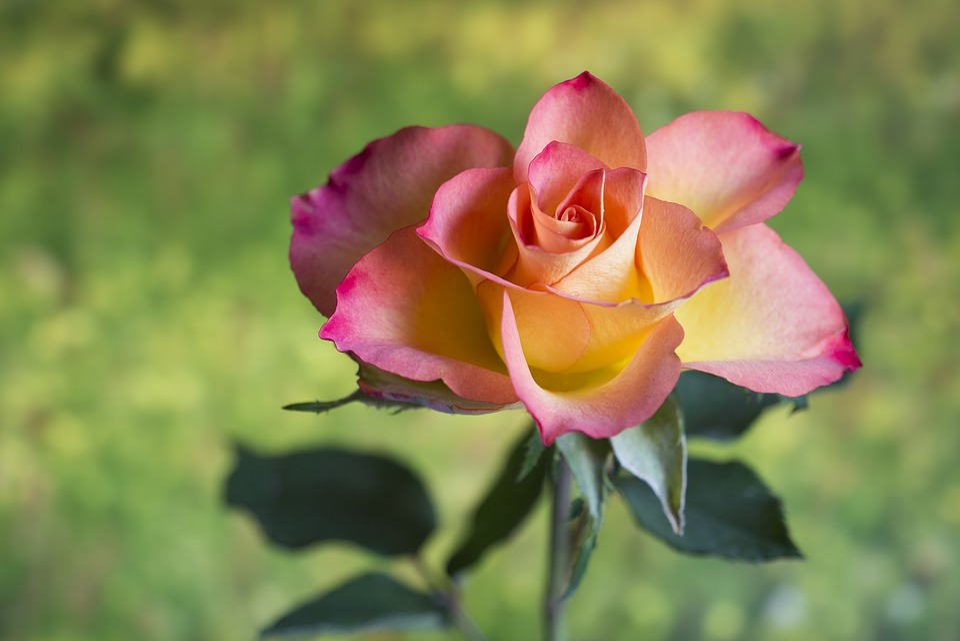 Flower, Nature, Plant, Leaf, Summer