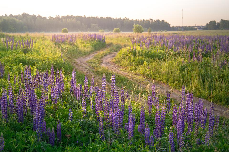 Field, Road, Lupine, Plant, Flower, Nature, Summer