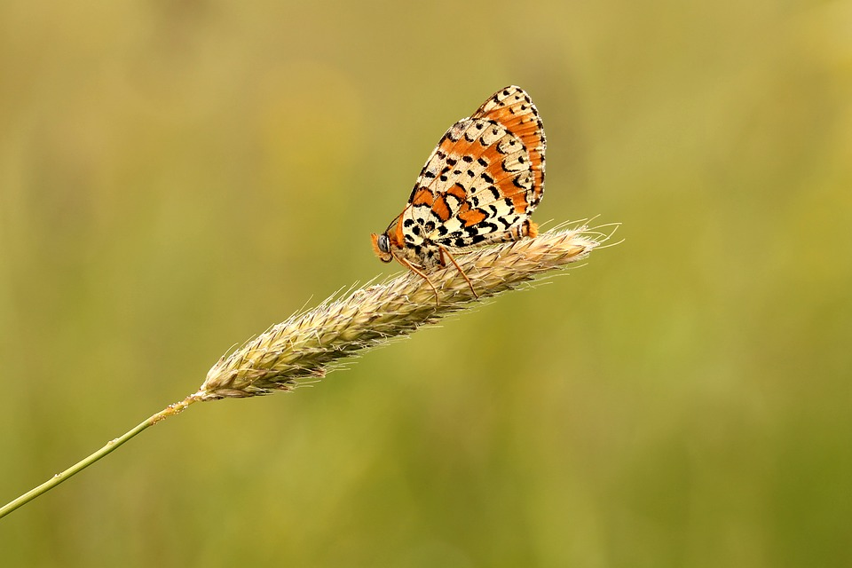 Butterfly, Meadow, Nature, Macro, Summer