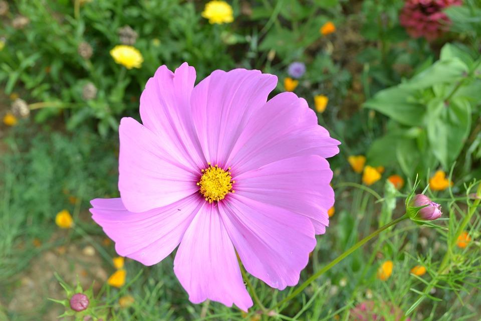Pink Flower, Petal Pink, Summer, Nature, Meadow, Field
