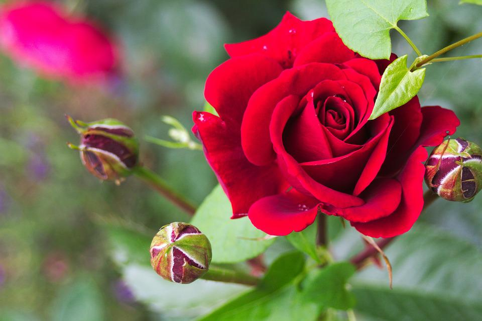 Rose, Flower, Plant, Garden, Nature, Summer, Spring