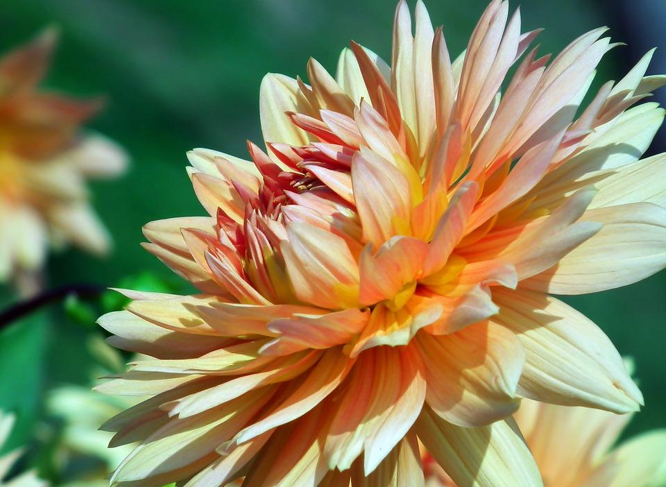 Dalia, Flower, Garden, Wheatgrass, Summer, Nature