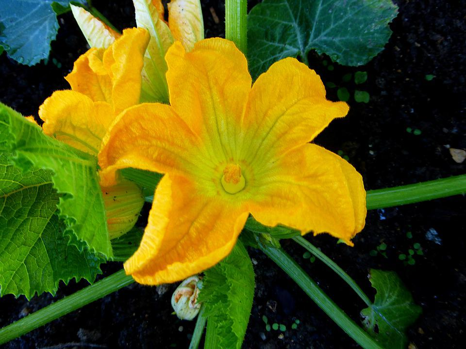 Flowers, Zucchini, Garden, Yellow, Summer, Nature