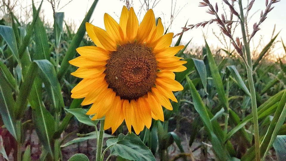 Sun Flower, Nature, Flower