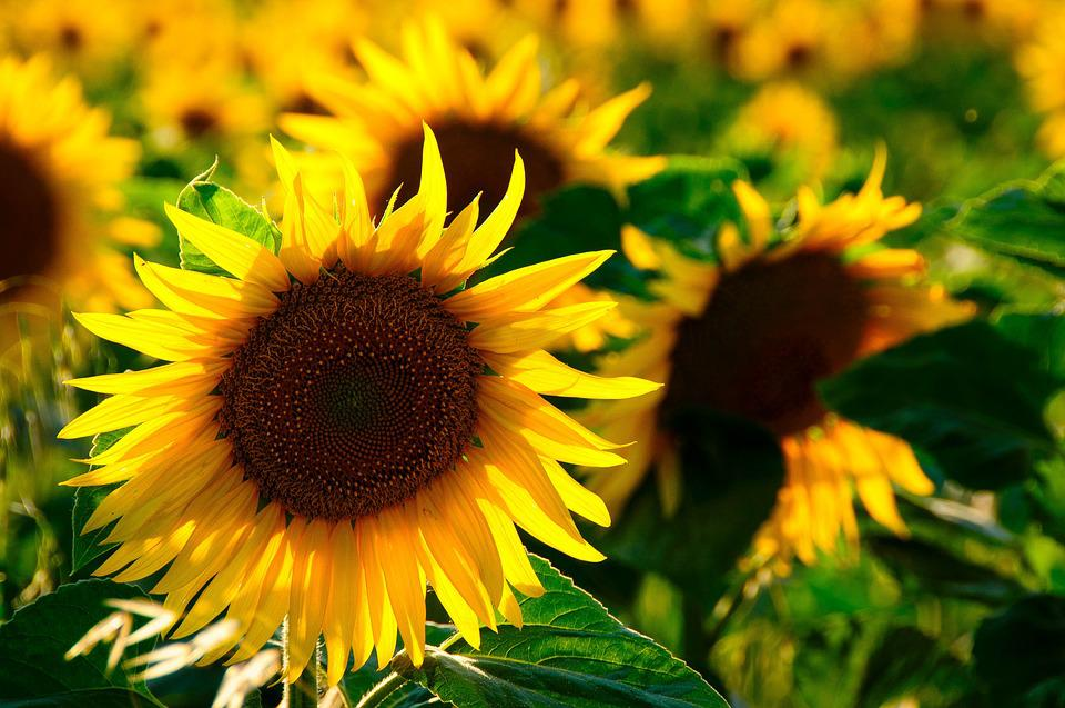 Sun Flower, Back Light, Colorful, Yellow Flower, Nature