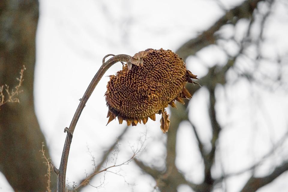 Sun Flower, Nature, Welck, Faded, Sunflower Bud, Close