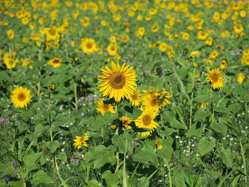 Sunflower, Sunflower Field, Nature, Sunny, Bright