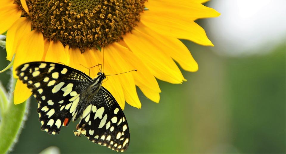 Nature, Butterfly, Sunflower, Flower, Wildlife
