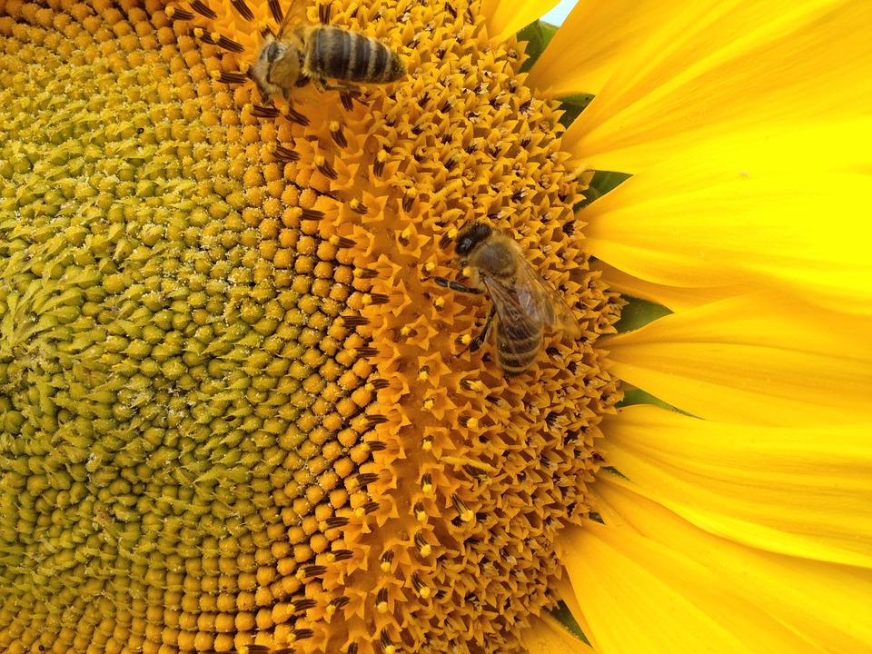 Sunflower, The Bees, Insect, Nature, Bee, Flora