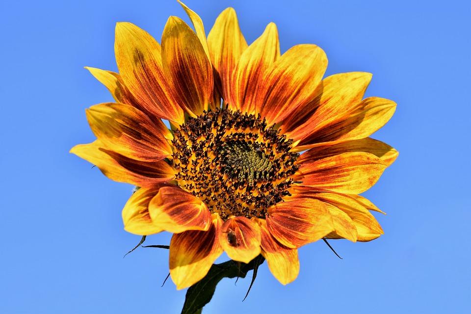 Sunflower, Yellow Flower, Blossom, Bloom, Flora, Nature