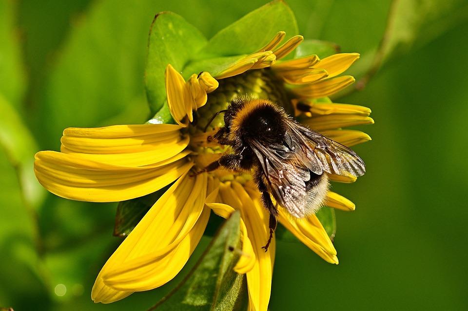Hummel, Sunflower, Sprinkle, Nature, Yellow, Summer