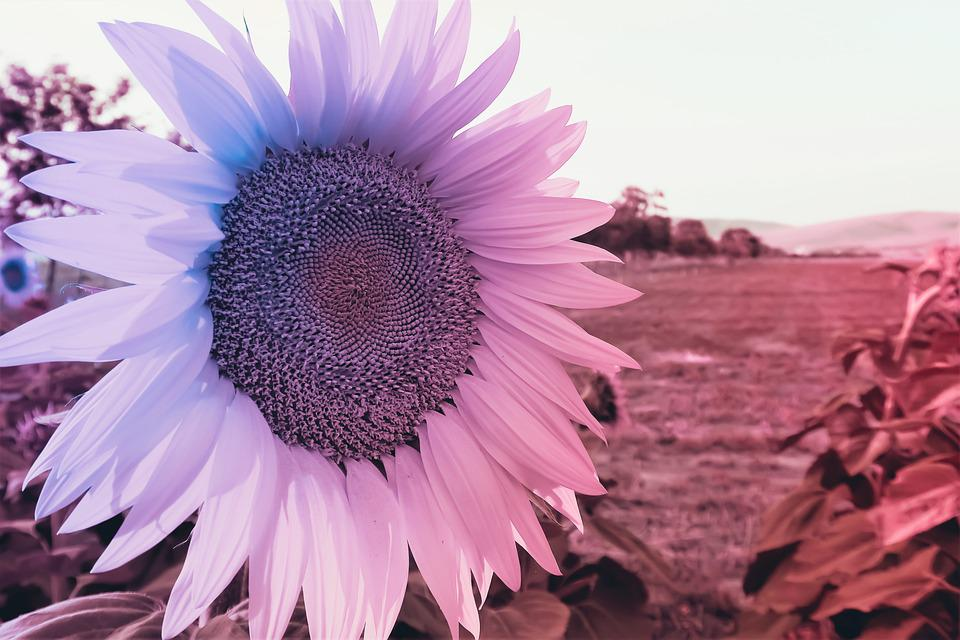 Sunflower, Nature, Flower, Yellow, Summer, Spring
