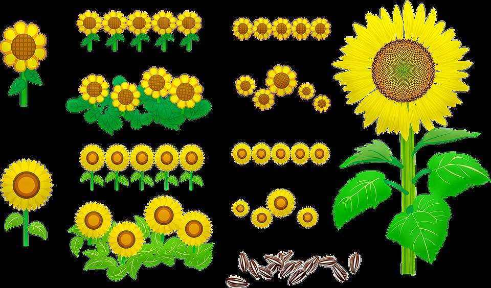 Sunflowers, Seeds, Yellow, Nature, Bloom, Flower