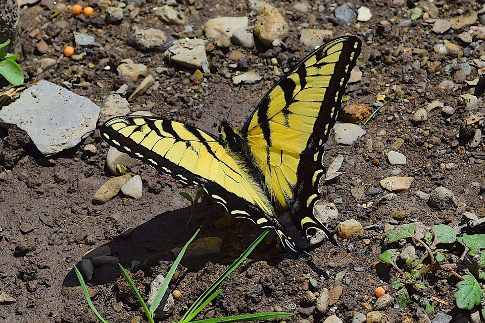 Butterfly, Yellow, Black, Swallowtail, Nature, Insect