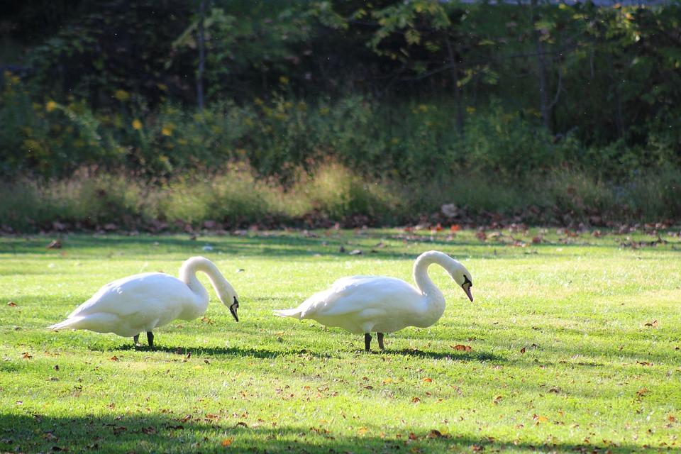 Swan, Bird, Nature