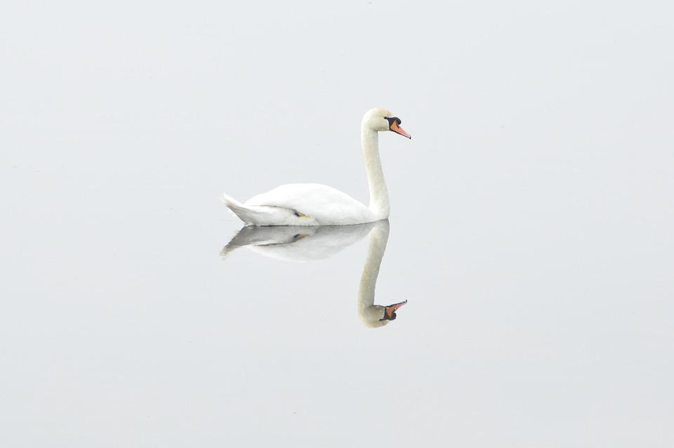 Swan, Bird, Nature, Water Bird, Mirror Image
