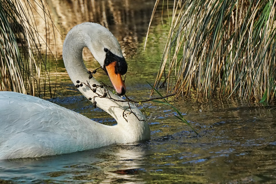 Waters, Bird, Swan, Nature, River, Poultry