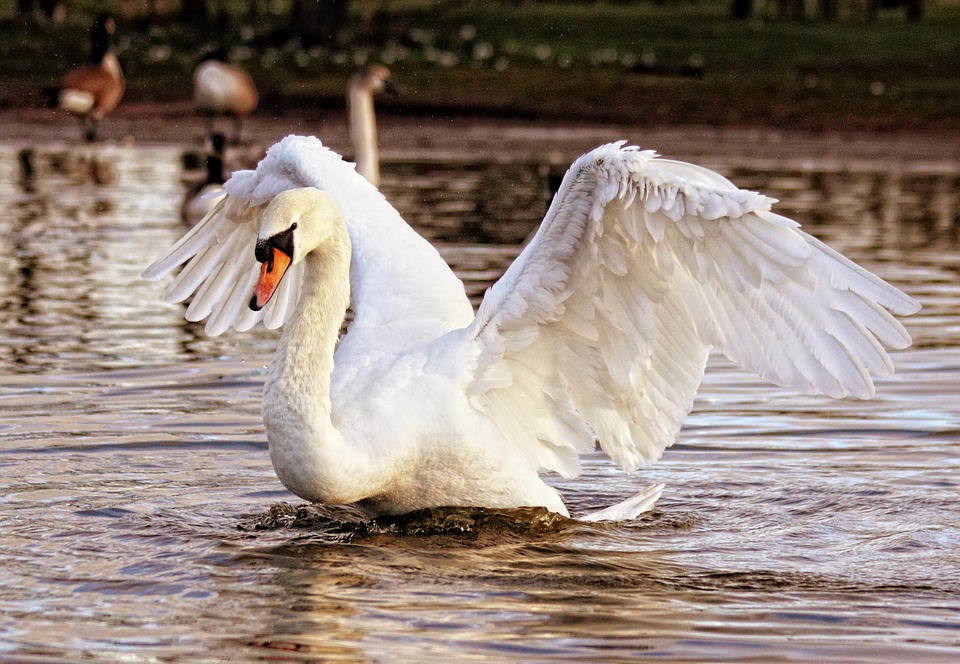 Swan, Bird, Nature, Animal, White, Wildlife, Lake