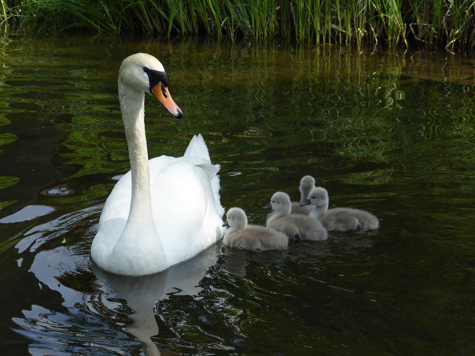 Swan, Masuria, Bird, Nature, Ostpreußen, Swan Family
