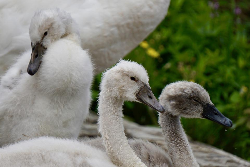 Swans, Birds, Cute, Lake, Waterfowl, Nature, Fluffy