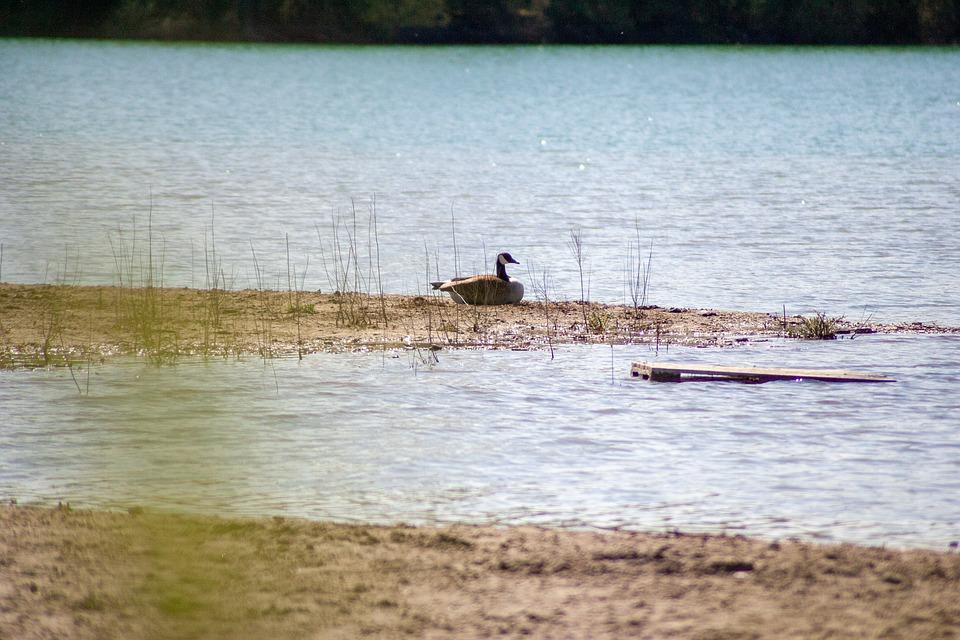 Goose, Lake, Bird, Water, Nature, Animal, Swim, Wings