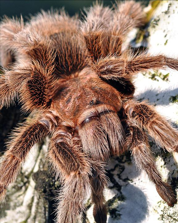 Tarantula, Spider, Anarachid, Nature, Tree, Hairy