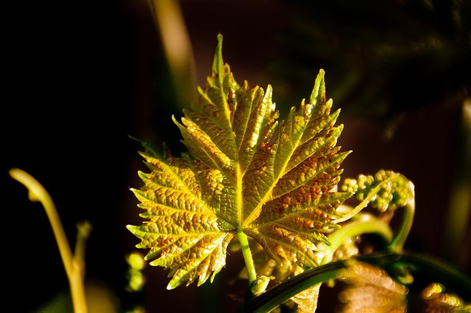 Grapes Leaf, Color, Nature, Texture