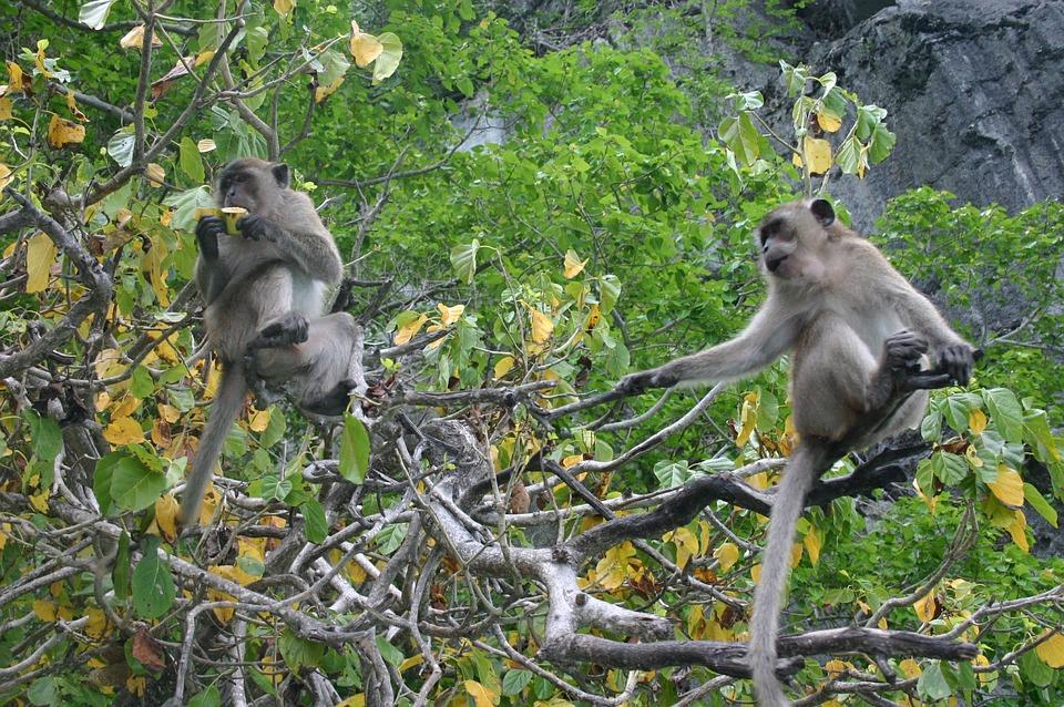 Ape, Monkey, äffchen, Mammal, Nature Thailand