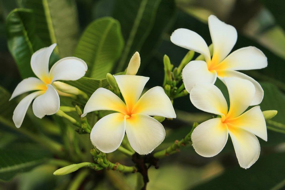 Leelawadee, Nature, White Flowers, Thailand