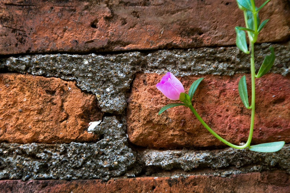The Pink Flowers, Pink, Nature, The Wall, The Bricks