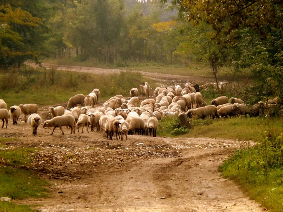 Sheep, The Flock, Pet, Nature, Capra, Rural Environment