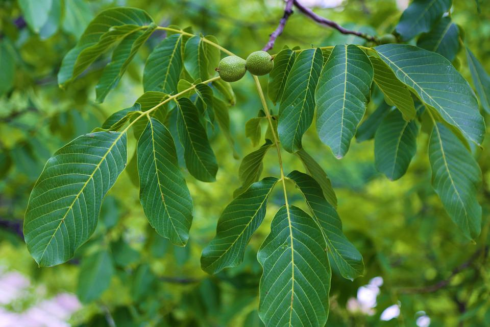 Walnut, Leaves, Fruit, The Leaves Are, Plant, Nature