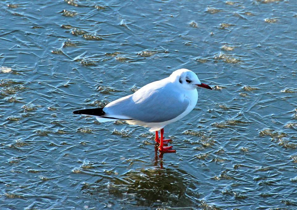 Nature, Winter, Birds, The Seagull