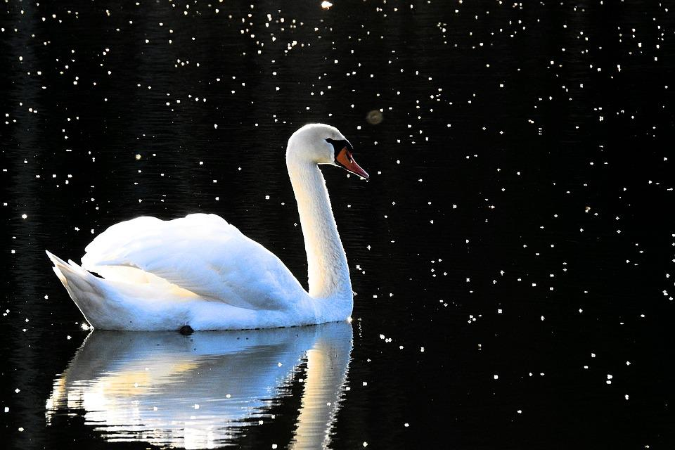 Nature, Birds, The Wave Is Reflected, Lake, Swan