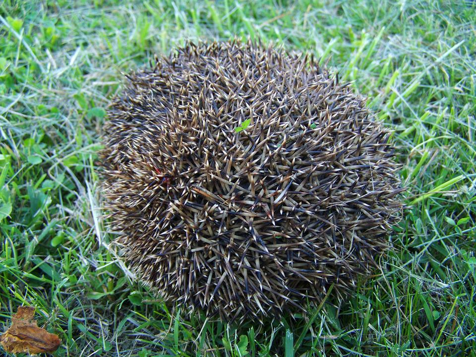 Third Showing A Hedgehog, Prickly Animal, Nature