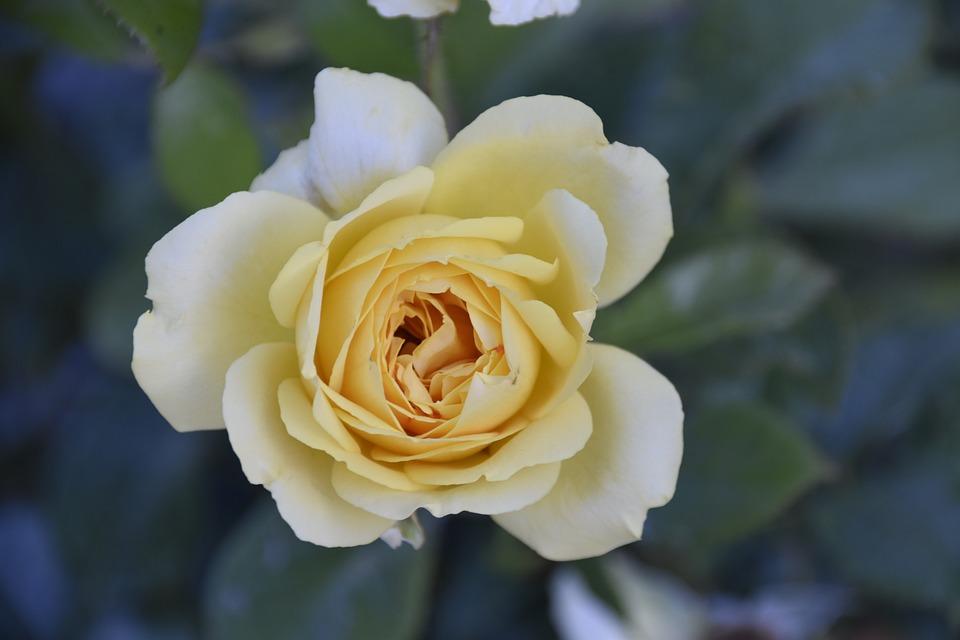 Flower, Pink, Shrub, Flower Pink Yellow, Thorny, Nature
