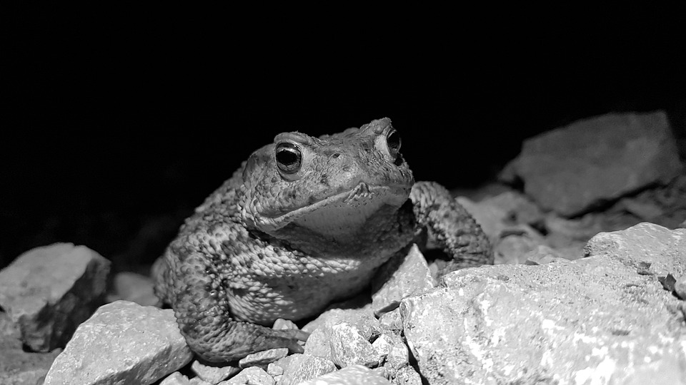 Toad, Reptile, Nature, Black And White