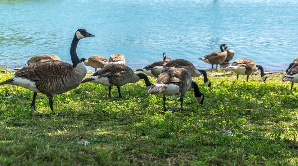 Duck, Canada, Toronto, Nature, Animals, Outdoor