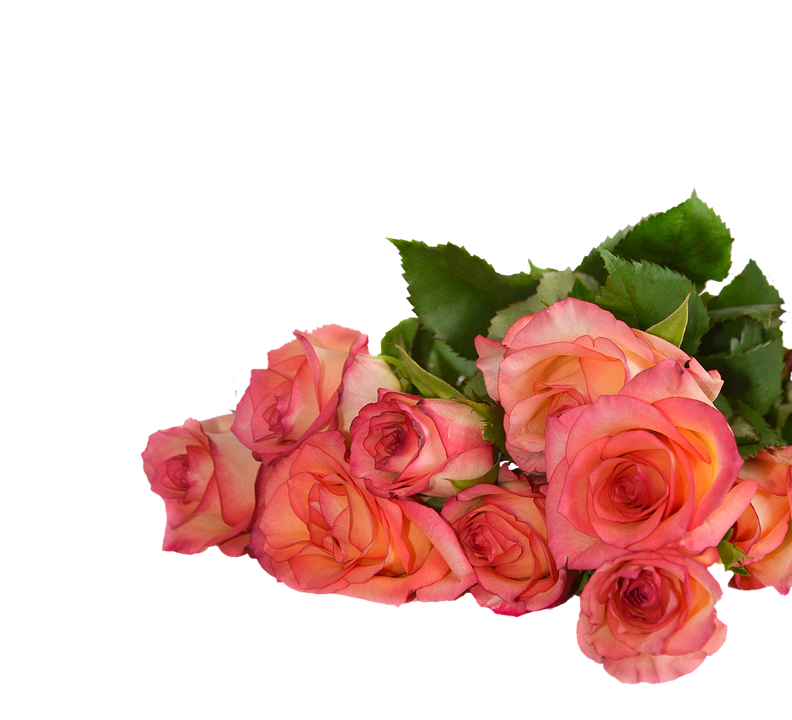 Rose Flowers Nature Transparent Background